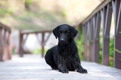 Cão revestido encaracolado preto do perdigueiro fotografia de stock royalty free