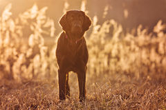 Cão revestido liso do perdigueiro que está no por do sol fotografia de stock royalty free