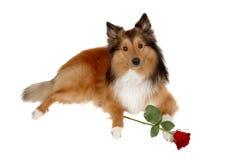 Cão romântico 2 Foto de Stock Royalty Free