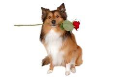 Cão romântico Fotos de Stock Royalty Free