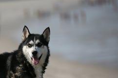 Cão ronco Foto de Stock