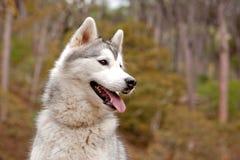 Cão ronco Imagens de Stock Royalty Free