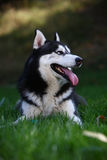 Cão ronco Foto de Stock Royalty Free