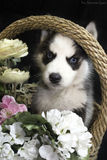 Cão ronco imagem de stock royalty free