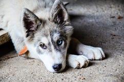Cão ronco imagem de stock