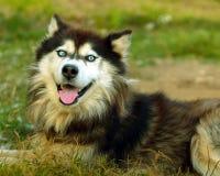 Cão ronco Fotografia de Stock Royalty Free