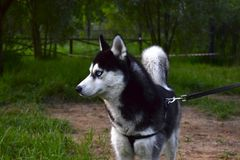 Cão ronco bonito Fotos de Stock Royalty Free