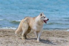 Cão ronco da raça Fotos de Stock