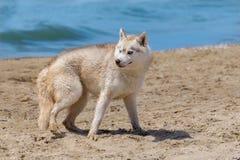 Cão ronco da raça Fotos de Stock Royalty Free