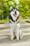 Cão ronco do retrato com um sorriso foto de stock royalty free