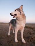 Cão ronco em uma praia Imagem de Stock Royalty Free