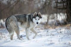 cão ronco na floresta fotos de stock