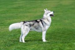 Cão ronco na grama Imagens de Stock Royalty Free