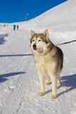 Cão ronco na neve Imagem de Stock Royalty Free