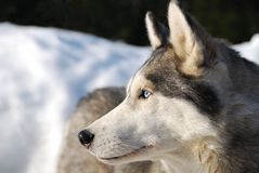 Cão ronco no inverno fotos de stock royalty free