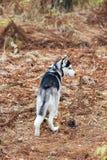 Cão ronco no parque imagens de stock