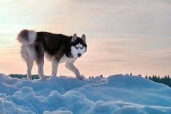 Cão ronco no por do sol Cão de puxar trenós siberian preto e branco no por do sol do inverno no fundo vermelho Fotos de Stock