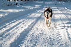 Cão ronco preto e branco imagem de stock royalty free