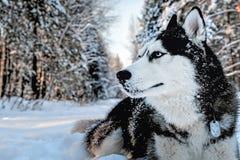 Cão ronco que encontra-se no fotografia de stock