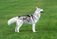Cão ronco que fica no campo verde Imagens de Stock Royalty Free
