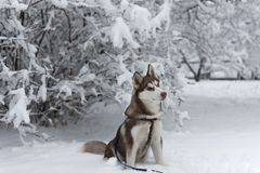 Cão ronco que senta-se no parque nevado foto de stock