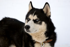 Cão ronco sério imagens de stock