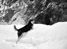 Cão ronco Siberian na neve fotos de stock royalty free