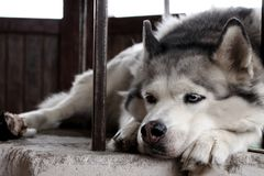 Cão ronco triste com os olhos azuis que encontram-se e que esperam o proprietário Cão de puxar trenós branco e cinzento bonito do fotografia de stock