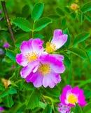 Cão-rosa Rosehip Flor cor-de-rosa do cão fotografia de stock royalty free