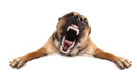 Cão ruim Fotografia de Stock