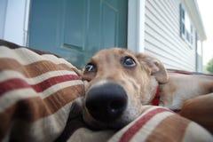 Cão ruim? Fotografia de Stock