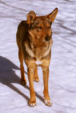 Cão ruivo Imagem de Stock