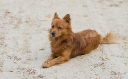 Cão ruivo que encontra-se em uma terra arenosa e que olha ao guardar seu território fotos de stock royalty free