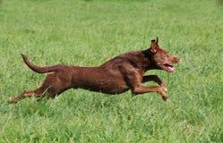 Cão Running Foto de Stock Royalty Free