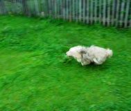 Cão Running Fotos de Stock Royalty Free