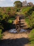 Cão Running Imagem de Stock Royalty Free