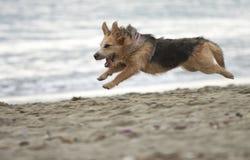 Cão running Imagens de Stock Royalty Free