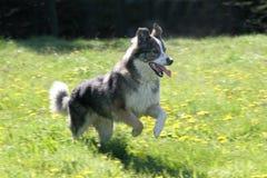 Cão Running Foto de Stock