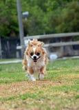 Cão running Fotografia de Stock