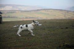 Cão running com lixo Imagens de Stock Royalty Free