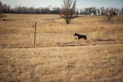 Cão running da exploração agrícola Fotos de Stock