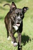 Cão Running do corso do bastão Fotos de Stock