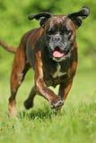 Cão Running do pugilista foto de stock