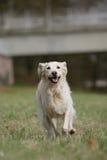 Cão Running do retriever dourado Imagem de Stock