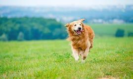 Cão Running do retriever dourado Fotografia de Stock Royalty Free