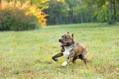 Cão Running do terrier do pitbull Imagens de Stock Royalty Free
