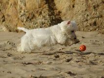 Cão Running engraçado na praia fotos de stock royalty free