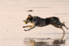 Cão running molhado Foto de Stock