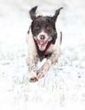 Cão running na neve Foto de Stock Royalty Free