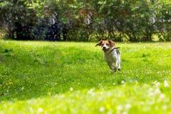 Cão running no jardim do verão fotografia de stock royalty free